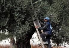 زراعة غزة تعلن عن موعد قطف الزيتون وتشغيل المعاصر